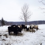 Krowy nadal poszukiwane