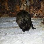Nietoperze najbardziej lubią poniemieckie bunkry