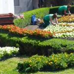 Kwiecista iluzja w Elblągu. Kilkadziesiąt tysięcy kwiatów ozdobi miejskie kwietniki