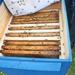 Choroby pszczół coraz większą zmorą pszczelarzy