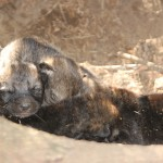 Młode wilki w warmińskich lasach