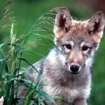 Młody wilk ugryzł gospodarza