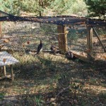 Leśnicy ratują zagrożone wyginięciem cietrzewie