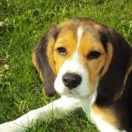 W Elblągu rozpoczęto bezpłatne czipowanie psów