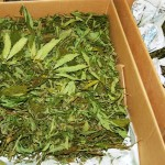 Hodowca marihuany