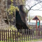 Dąb Bażyńskiego nie został Drzewem Roku 2016