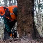Trwa wycinka drzew na Mierzei Wiślanej
