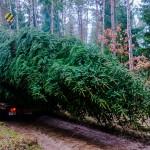 Leśnicy przestrzegają: wycinka choinki z lasów może być ogromną stratą dla środowiska