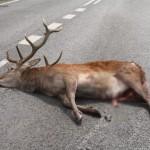 Kto zapłaci za wypadki z winy dzikich zwierząt?