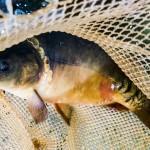 Jak wybrać świeże i zdrowe ryby na święta?