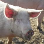 Zniesiono ograniczenia dotyczące hodowli świń w Gołdapi