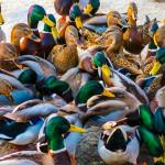Elbląg z miejskich pieniędzy dokarmia zimą bezdomne zwierzęta i ptaki