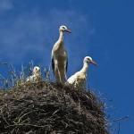 Wieś Żywkowo wypatruje już bocianów. Ptaki są w drodze do Polski. Czekają na nie specjalne tamy i oczka wodne