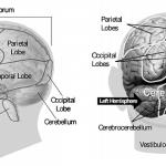 Polędwica mózgowa