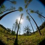 Wiekowy cis spod Bartoszyc walczy o tytuł Drzewa Roku