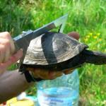 Człowiek pomoże przyrodzie. Na Mazurach odtworzone zostaną siedliska lęgowe żółwia błotnego