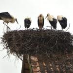Trwa międzynarodowe liczenie bocianich gniazd