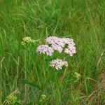 Chwast to każda niepożądana roślina w ogrodach, szklarniach, na trawnikach. Czy jednak mogą być pożyteczne?