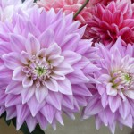 To jeden z najpopularniejszych kwiatów w polskich ogródkach. W olsztyńskim Kortowie otwarto wystawę dalii