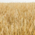 """""""Rolnicy powinni jak najszybciej zgłaszać wnioski o oszacowanie strat"""". Wicewojewoda apeluje ws. suszy"""