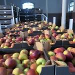 Olsztyński Bank Żywności chce zagospodarować  jabłka z embarga