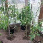Nielegalna uprawa konopi w Ostródzie