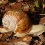 Karłowacieją ślimaki winniczki na Warmii i Mazurach