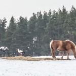 Bociany coraz bardziej lubią polską zimę