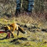 Historia pewnego lisa