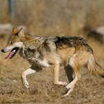 Trwa liczenie wilków i rysi