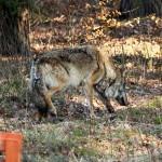 Leśnicy z Olsztynka wypuścili uratowanego od śmierci wilka