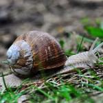 Kłusowanie na ślimaka winniczka
