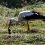 Ornitolodzy szukają dwóch zaginionych bocianów