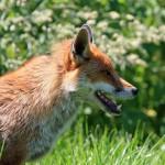 Rusza akcja szczepienia lisów. Te zwierzęta najczęściej chorują na wściekliznę
