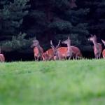 Chmara jeleni