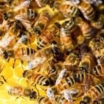 Pszczoły uprzykrzają życie mieszkańcom Elbląga