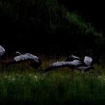 Żurawie nocą wyglądają nieziemsko