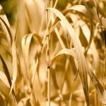 Rolnicy dotknięci suszą już wnioskują o rekompensaty