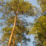 Leśnicy rozpoczynają walkę z gąsienicą zagrażającą lasom sosnowym. Za kilka dni ruszają lotnicze opryski
