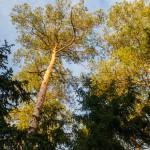 Leśnicy ratują świerki i sosny. Zagrożeniem jest mały niszczyciel drzew, czyli gąsienica brudnicy mniszki