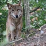 W lasach Warmii i Mazur żyje 114 wilków i 7 rysi
