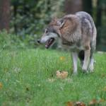 Specjalne fladry pomogą rolnikom chronić zwierzęta przed wilkami