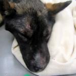 42-latka zagłodziła psa na śmierć. Kobieta odpowie za znęcanie się nad zwierzętami