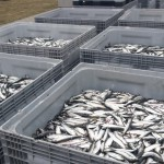 Na Zalewie Wiślanym rozpoczęły się śledziowe żniwa. W tym roku nie ma limitów połowowych