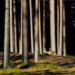 Dromadery i bakterie w walce z żarłocznymi gąsienicami niszczącymi sosnowe lasy