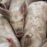Zmiany w ustawie o zwalczaniu ASF. Nowelizacja ułatwi sprzedaż mięsa wieprzowego