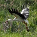Ornitolodzy przenoszą bocianie gniazda w bezpieczne miejsca