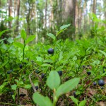 Ostrzeżenie przed bąblowicą. W lasach Warmii i Mazur trwa sezon na jagody