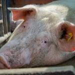 Pierwsze w tym roku ognisko ASF w gospodarstwie hodowlanym. Prawie tysiąc świń zostanie wybitych