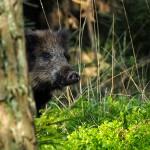 W związku z afrykańskim pomorem świń w kraju trwa liczenie dzików